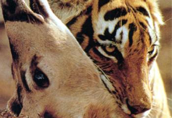 La    légion    du    tigre    ensanglanté